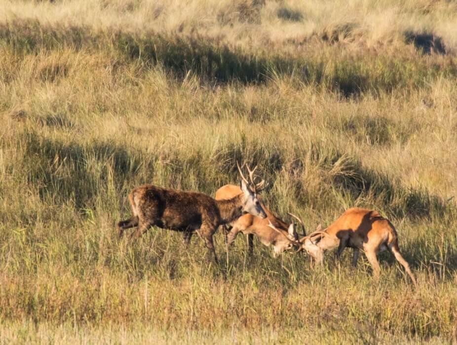 Junge Hirsche kämpfen spielerisch am Darßer Ort
